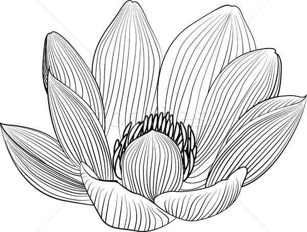 Lineart lotus flower line illustration. Vector abstract black and white floral background Stock photo © Hipatia