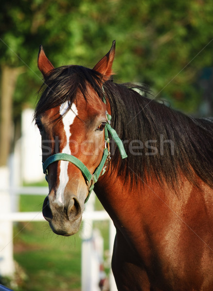 Chestnut horse Stock photo © hitdelight