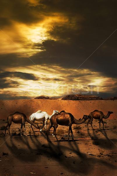Верблюды пустыне небе дерево закат пейзаж Сток-фото © hitdelight