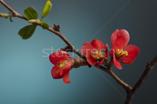 Fiore rosa bella primavera fiore blu vita Foto d'archivio © hitdelight