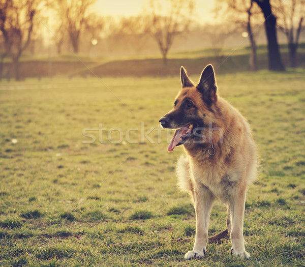 German Shepherd Stock photo © hitdelight