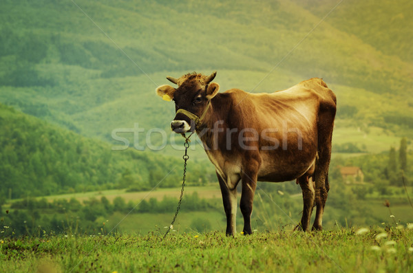 Cow in the Field Stock photo © hitdelight