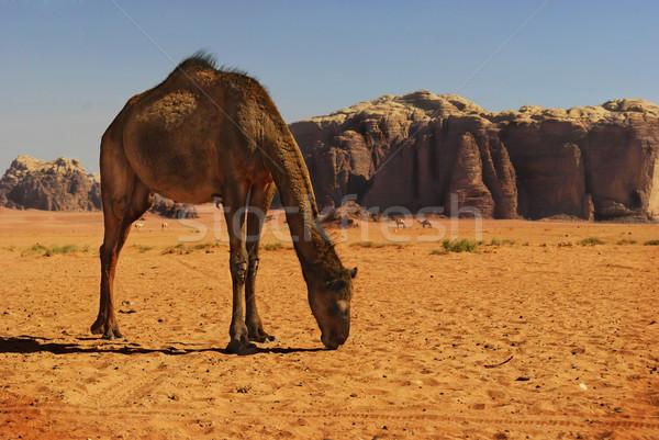 ラクダ ラム酒 砂漠 ヨルダン 空 ツリー ストックフォト © hitdelight