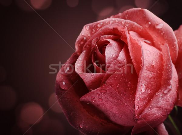 Gül güzel karanlık çiçek bahar Stok fotoğraf © hitdelight
