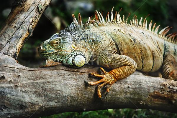 Leguaan reptiel tak wachten buit boom Stockfoto © hitdelight