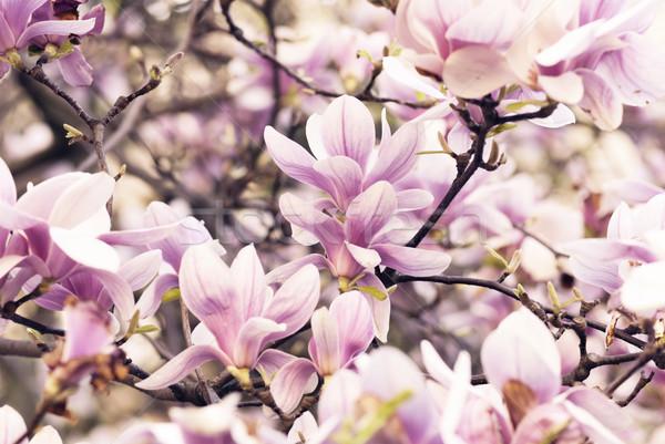 Magnolia belle jardin de fleurs arbre printemps design Photo stock © hitdelight