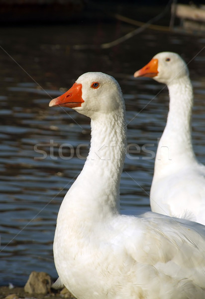 Geese Couple Stock photo © hitdelight