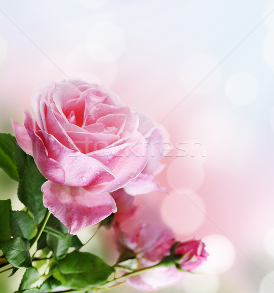Rose in the garden Stock photo © hitdelight
