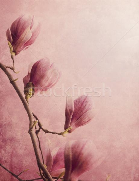 Manolya güzel çiçek ağaç bahar Stok fotoğraf © hitdelight