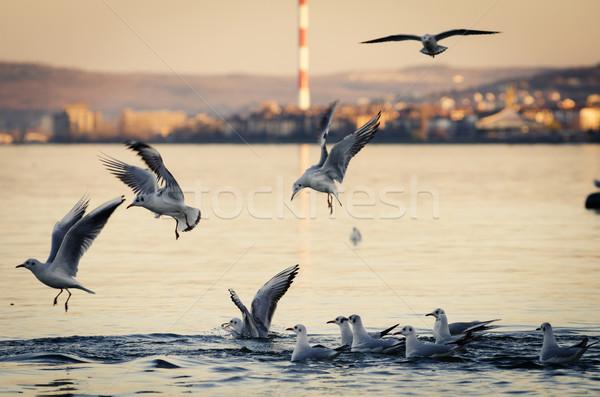 Gulls Stock photo © hitdelight