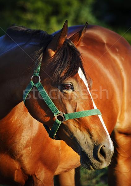 Chestnut horse Stock photo © hitdelight