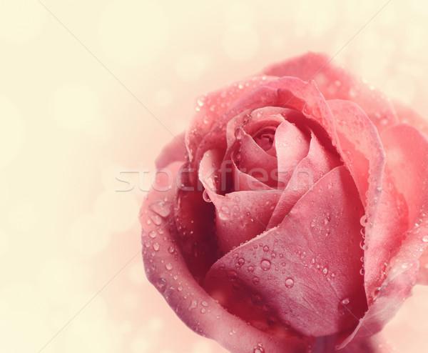 Pink Rose Stock photo © hitdelight