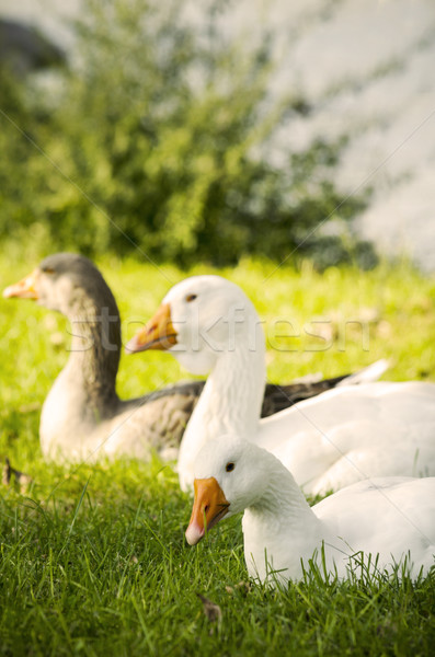 Geese Stock photo © hitdelight