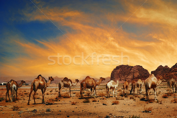 Camels in Wadi Rum Stock photo © hitdelight