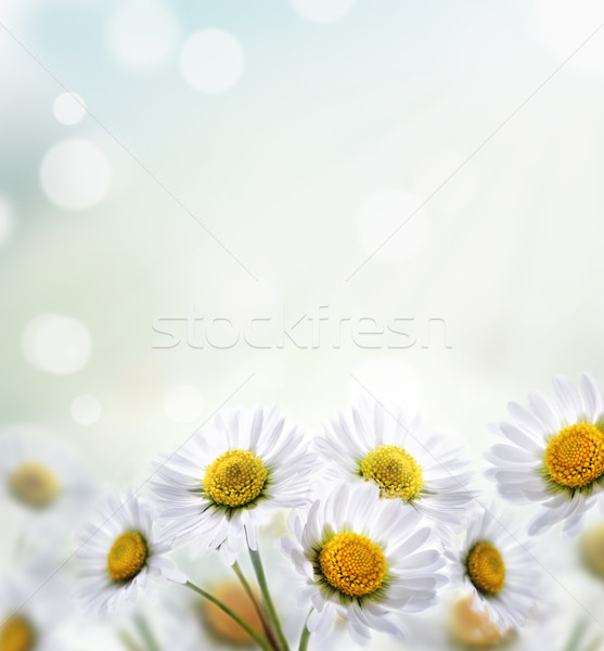 Daisy Stock photo © hitdelight