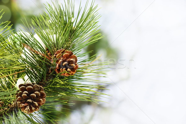 Pine tree Stock photo © hitdelight
