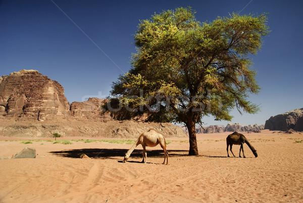 Camellos ron dos desierto Jordania cielo Foto stock © hitdelight