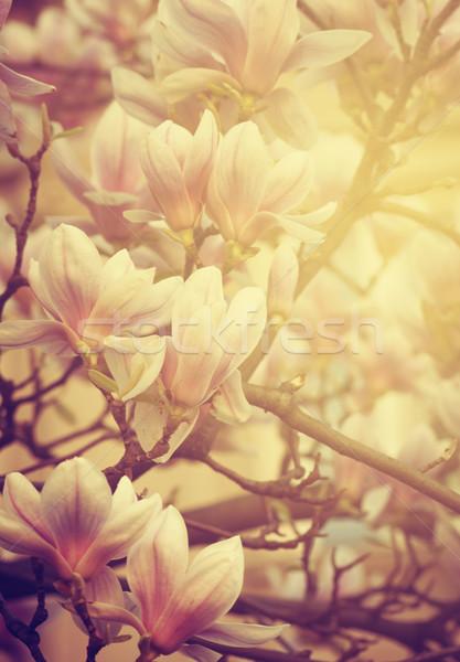 магнолия красивой цветок солнечный свет дерево весны Сток-фото © hitdelight