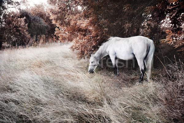 Fehér ló művészi kép gyönyörű fű nap Stock fotó © hitdelight