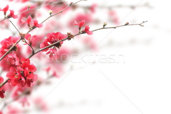 Belle rose blanche fleurs arbre Photo stock © hitdelight