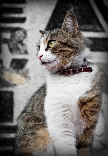 Gato doméstico retrato hermosa cara pelo animales Foto stock © hitdelight