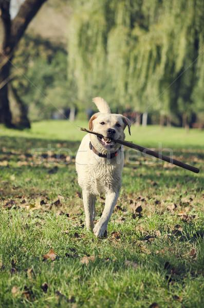 Dog with stick Stock photo © hitdelight