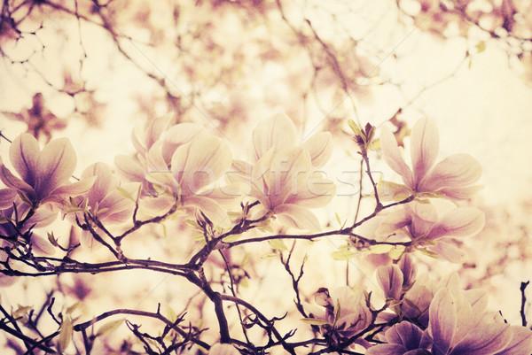 магнолия красивой цветок дерево весны Сток-фото © hitdelight