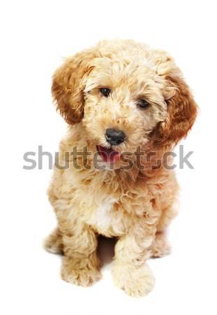 Puppy Stock photo © hitdelight