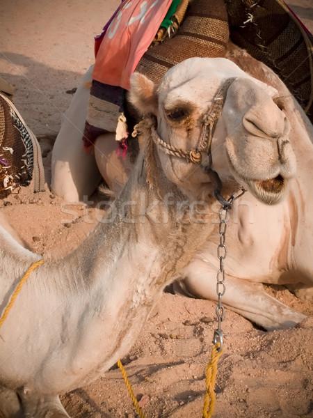 Egyptian camel  Stock photo © hitdelight