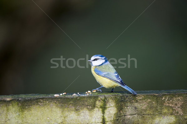 синий Тит забор саду птица Сток-фото © HJpix