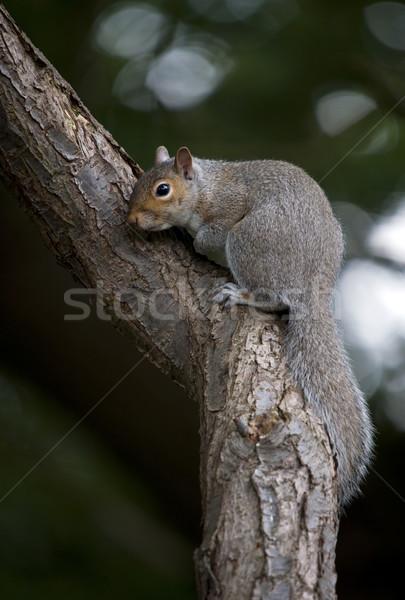 серый белку дерево животного Сток-фото © HJpix