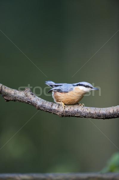 саду птица синий филиала европейский Сток-фото © HJpix