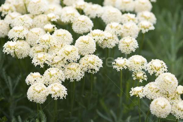 Achillea Stock photo © HJpix