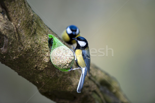 Great Tits (Parus major) Stock photo © HJpix