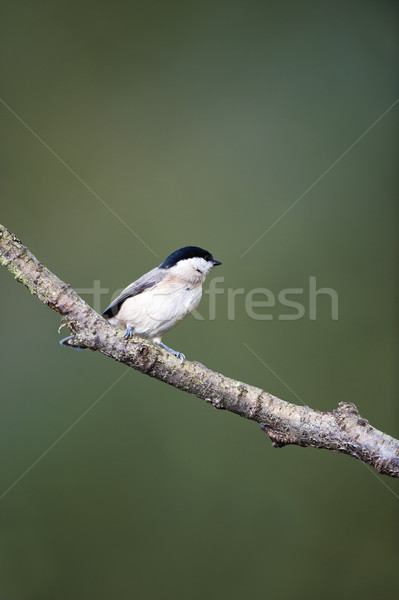 Saule tit oiseau branche Photo stock © HJpix