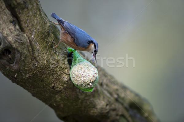 природы саду птица синий европейский Сток-фото © HJpix