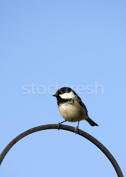 уголь Тит железной природы птица Сток-фото © HJpix