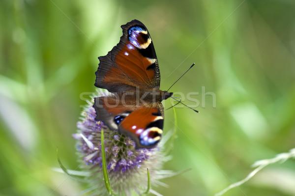 павлин бабочка крыльями Сток-фото © HJpix