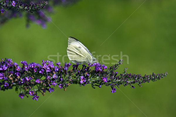 большой белый бабочка Сток-фото © HJpix