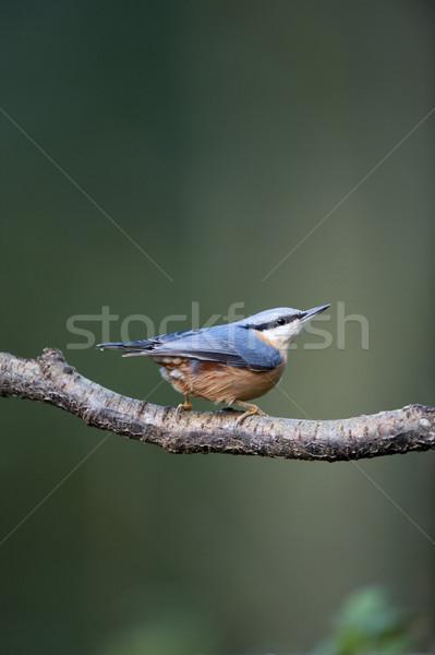 птица синий филиала живая природа британский Сток-фото © HJpix