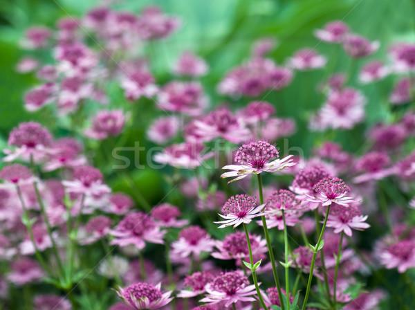 довольно завода саду границе цветок розовый Сток-фото © HJpix