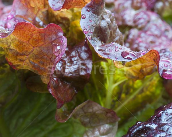красный лист салата лет Сток-фото © HJpix