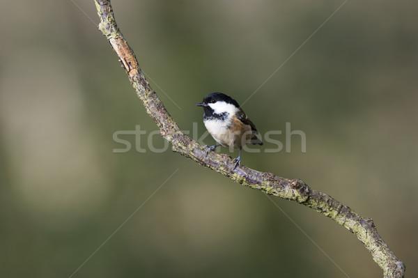 уголь Тит природы саду птица филиала Сток-фото © HJpix
