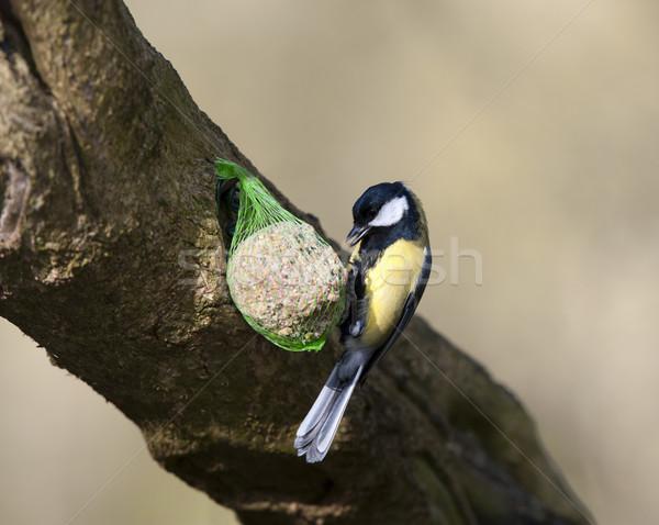 Тит птица Сток-фото © HJpix