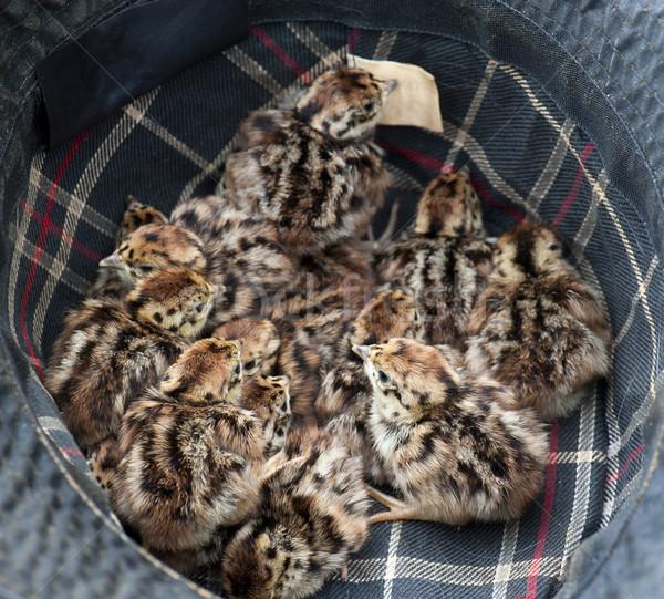 Grey Partridge (Perdix perdix) Stock photo © HJpix