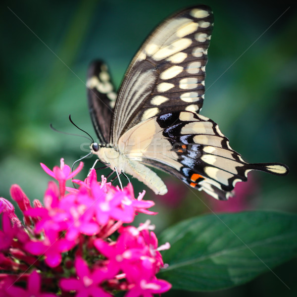 Giant Swallowtail Papilio Cresphontes Stock photo © hlehnerer