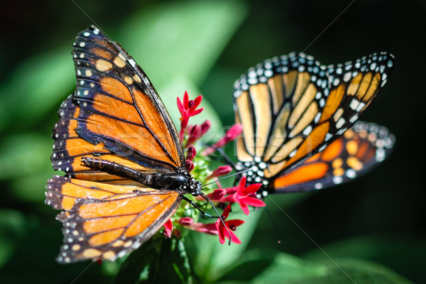 Monarch Danaus Plexippus Stock photo © hlehnerer