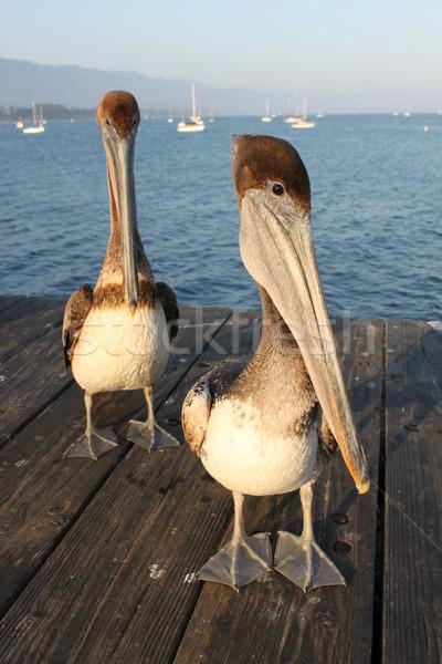 Californië twee water zee vogels Stockfoto © hlehnerer
