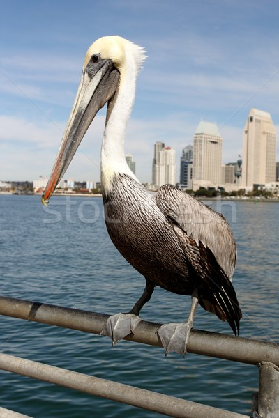San Diego Pelican Stock photo © hlehnerer