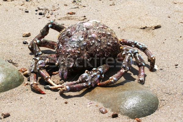 Crab Beach Stock photo © hlehnerer